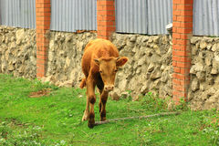 Calf running along the fence. Calf cow returns home for the herd in the evening from pasture Royalty Free Stock Images