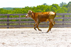 Calf running in Arena Stock Images