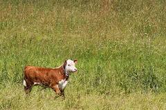 Calf running in a field Royalty Free Stock Photography