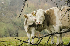 A calfs affection. A mother-cow and her calf in a moment of affection, Bran, Romania Royalty Free Stock Photography