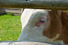 Calf. Sad calf closeup behind a wooden fence Stock Images