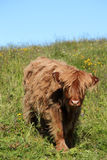 Calf of a Scottish cow in Lofoten Royalty Free Stock Photography