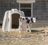 Calf and shelter Stock Photo