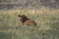 Calf sitting in paddock Royalty Free Stock Images