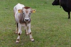 Calf Stock Photos