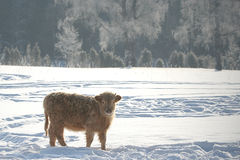 Calf in snowy winter Stock Photos