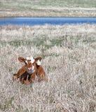 Calf in springtime Stock Photo