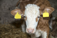 Calf in a stable Royalty Free Stock Photography