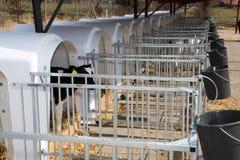 Calf stable on farm Stock Photos