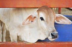 A calf in the stall Stock Photos