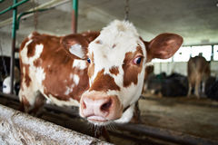 Calf in stalls at dairy farm Royalty Free Stock Photography