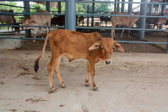 Calf standing in front of the stall. Royalty Free Stock Photos