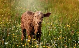 Calf standing in wildflowers Stock Image