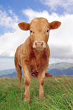 Calf. Staring at the camera with mountains in background Stock Photos
