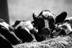 I know I`ll be ready for Mac in few months. This calf staring at me while munching straw, meant to tell me something royalty free stock photo