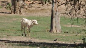 Calf stay alone in grassland stock video
