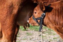 Calf sucking milk Royalty Free Stock Image