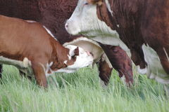 Calf Suckles Teat Stock Photo