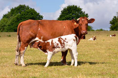 Calf suckling. Brown cow and calf suckling in a prairie, department of the Sarthe in France Royalty Free Stock Images