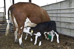 Calf Suckling Stock Photo