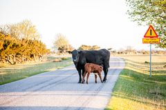 Calf suckling on the countryroad of Öland Sweden royalty free stock photos