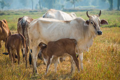 Calf suckling cows in pasture. In thailand Stock Photography