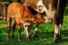 Calf suckling milk Stock Photography