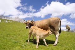 Calf suckling. Royalty Free Stock Image