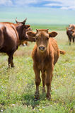 Calf on summer meadow Stock Photo