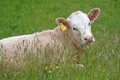 Calf in Summer Meadow. Calf peers through grass in curiosity Royalty Free Stock Images