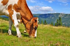 The calf on a summer mountain pasture Royalty Free Stock Photos