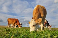 The calf on a summer pasture. Stock Images