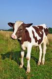 The calf on a summer pasture Royalty Free Stock Photos