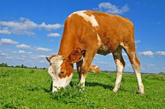 The calf on a summer pasture Stock Photography