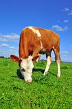 The calf on a summer pasture Stock Images