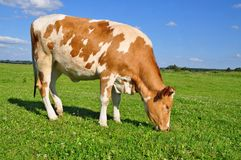The calf on a summer pasture Stock Photo