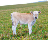 The calf on a summer pasture. Stock Photo