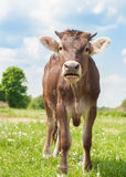 The calf on a summer pasture Stock Photos