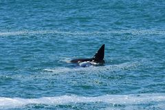 Southern Right Whale & Calf, Hermanus, South Africa. Calf swimming over mother - Southern Right Whales off Hermanus, South Africa. The southern right whale is a stock images