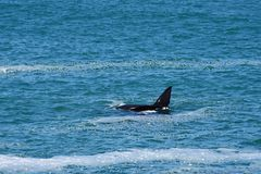 Southern Right Whale & Calf, Hermanus, South Africa. Calf swimming over mother - Southern Right Whales off Hermanus, South Africa. The southern right whale is a royalty free stock photography