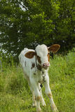 Calf on tether grazing in meadow near path Stock Photography