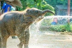 Calf Thai elephant enjoy with water, Thailand Stock Image