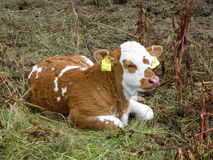 Calf in Thuringen, Germany Royalty Free Stock Photography