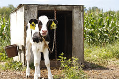 Dairy Farm Royalty Free Stock Images