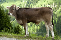 Calf of Tiroler Grauvieh cattle Royalty Free Stock Photos