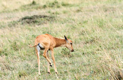 A calf of Topi antelope Royalty Free Stock Image
