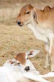 Calf,two calves.two calves on falm,calf tease Stock Photography