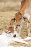 Calf,two calves,two calves playing Stock Photos