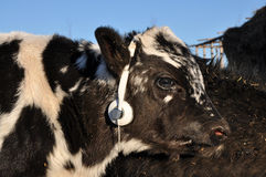 Calf uses stereo headphones Stock Photo