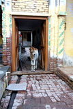 A Calf in Village Doorway. An young calf stands in a rural Indian families doorway curious of what is going on outside. The rustic brick entry and hand painted Royalty Free Stock Image
